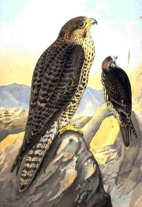 Lanner falcon (Falco biarmicus).