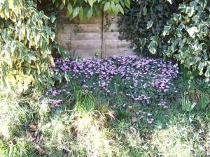Cyclamen coum and snowdrops on a neighbour's bank.