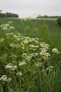Cow parsley (Anthriscus sylvestris). Photo by Olivier Pichard.