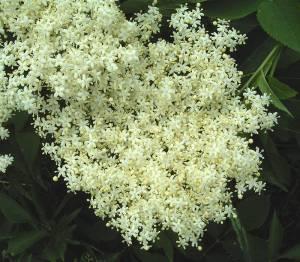 Elderflower blossom detail. Photo by Frank Vincentz.