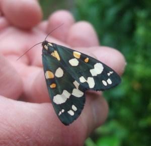 Newly-emerged tiger moth.