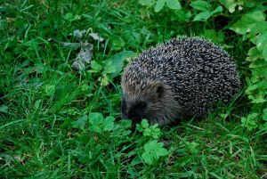 Hedgehog (Erinaceus europaeus). Photo by Jpbw.