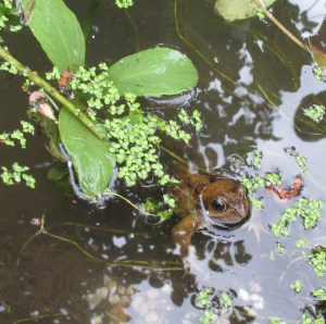 Mr Frog happily ensconced in the rejuvenated pond.
