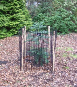 March 2011. At its new home in the Harold Hillier Gardens and Arboretum, near Romsey in Hampshire.