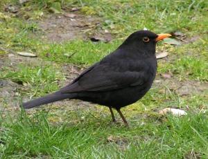 A male blackbird, Turdus merula. Photo by Sannse. https://commons.wikimedia.org/wiki/Turdus_merula#/media/File:Kos_Turdus_merulaRB.jpg