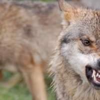 El lobo de los cuentos