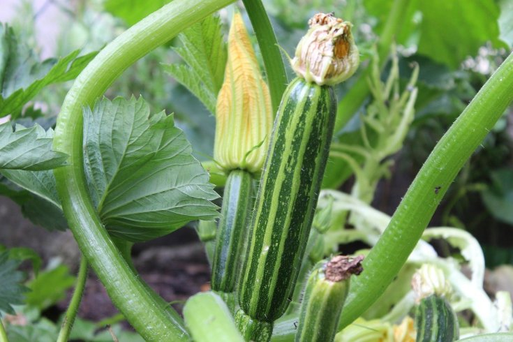 How To Start A Successful Cucumber Farming In Nigeria