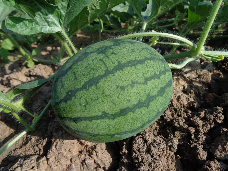 watermelon-farming-in-nigeria