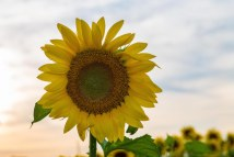 Pope Farm Sunflowers 2015 | ADVENTURE
