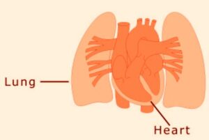 Heart_Lungs_1