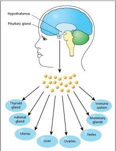 neuroendocrinetheory_aging