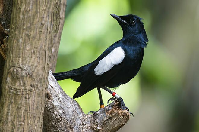 species magpie robin