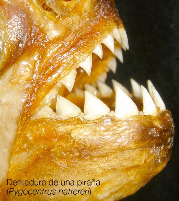 Dentadura de una piraña
