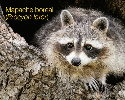 Mapache boreal