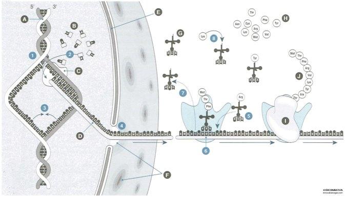 Repaso de la síntesis de proteínas
