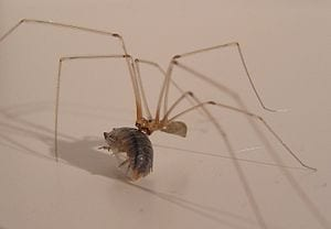 Daddy long-legs spider Pholcus phalangioides w...