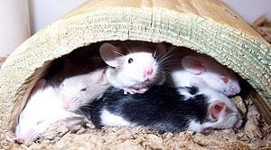Researchers alleviate PTSD in mice while they sleep