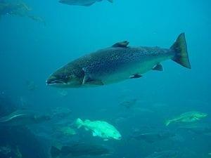 Atlantic Salmon, Salmo salar, Taken thru glas,...