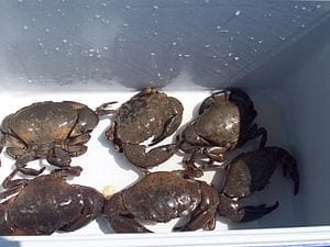 English: Stone crabs in cooler