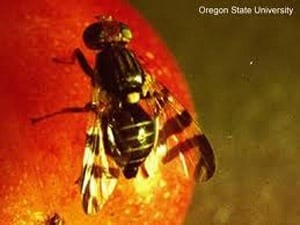 Genetic analysis saves major apple-producing region of Washington state