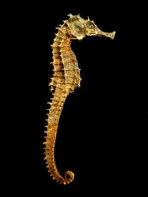 Seahorse's Armor Gives Engineers Insight Into Robotics Designs