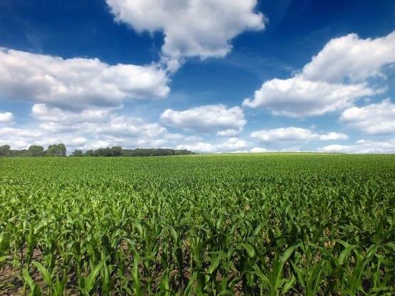 corn_crop2