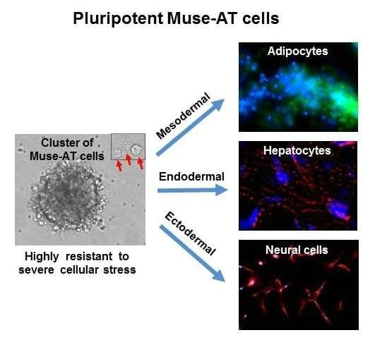 Muse-AT_cells-prv