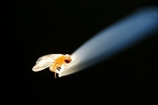 fruit_fly_micro12_4778