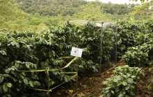 Pest-eating birds mean money for coffee growers, Stanford biologists find