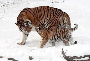 300px-Panthera_tigris_altaica_13_-_Buffalo_Zoo
