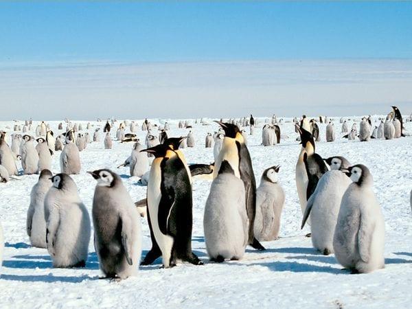 emperor-penguin_521_600x450