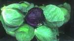 Compound Derived from Vegetables Shields Rodents from Lethal Radiation Doses