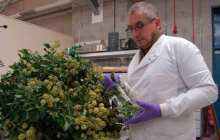 Bangor University research into growing use of Ivy