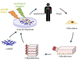 English: Principle of tissue engineering (Photo credit: Wikipedia)