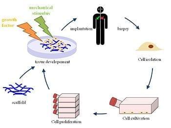 English: Principle of tissue engineering (Photo credit: Wikipedia)