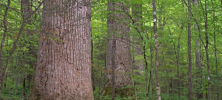 Researchers design trees that make it easier to produce pulp