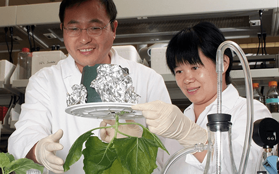 "ASU researchers Qiang ""Shawn "" Chen and Huafang ""Lily "" Lai infiltrate a tobacco plant to produce monoclonal antibodies against West Nile virus."