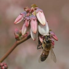 Bee on blueberry blossoms. Photo credit: Hannah Burrack. Click to enlarge.