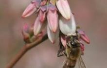 Bee Biodiversity Boosts Blueberry Crop Yields