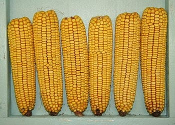 English: A display of six ears of field corn with dented yellow kernels (Zea mays var. indentata) which won ribbons for