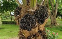 Gasification of oil palm biomass to produce clean producer gas for heat and power generation