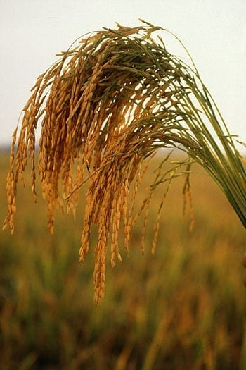 Long grain rice from the United States (Photo credit: Wikipedia)
