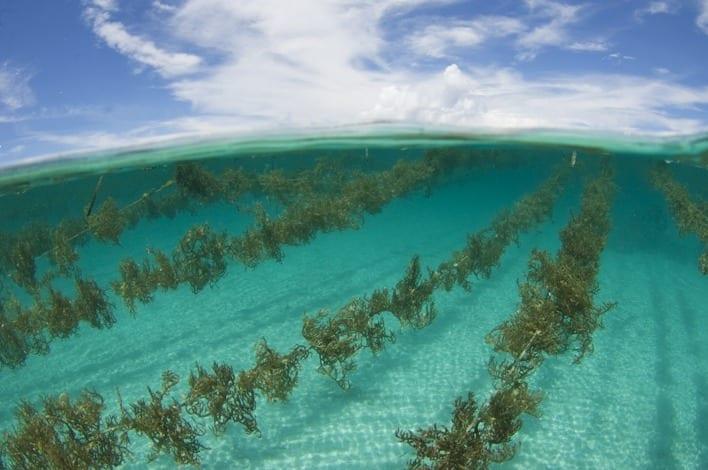 via Scubazoo blog - Seaweed farming in Halmahera