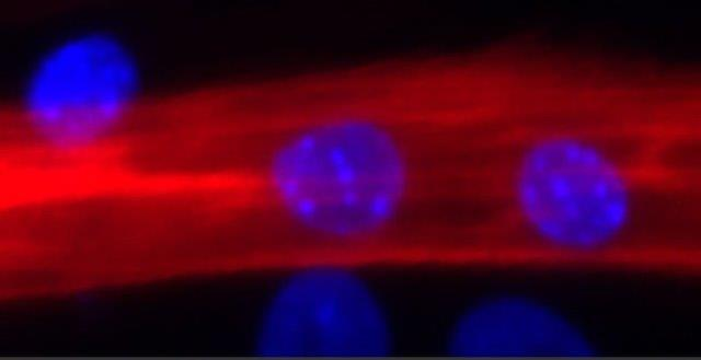 Programming adult stem cells to treat muscular dystrophy and more by mimicking nature