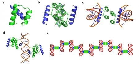 Design strategy of protein-DNA nanowires. The protein-DNA nanowire is self-assembled with a computationally designed protein homodimer and a double-stranded DNA with the protein binding sites properly arranged. Credit: Yun (Kurt) Mou, Jiun-Yann Yu, Timothy M. Wannier, Chin-Lin Guo and Stephen L. Mayo/Caltech - See more at: http://www.caltech.edu/news/making-nanowires-protein-and-dna-47755#sthash.AgrPvAwo.dpuf