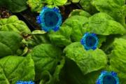 Simple shell of plant virus sparks immune response against cancer