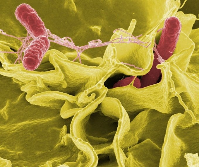 Salmonella bacteria under a microscope. Photo by NIAID / Wikipedia