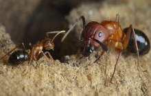 Penn-Led Team Reprograms Social Behavior in Carpenter Ants Using Epigenetic Drugs