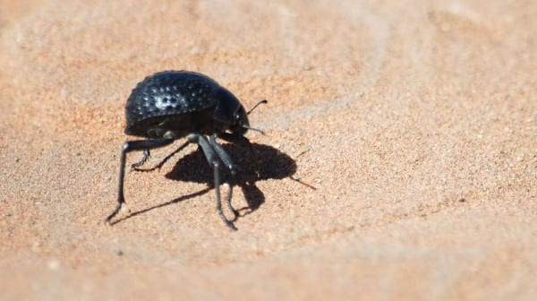The Namib Desert Beetle lives in one of the hottest places in the world, yet it still collects airborne water. Taking a page from the beetle's playbook, Virginia Tech biomedical engineers created a way to control condensation and frost growth.