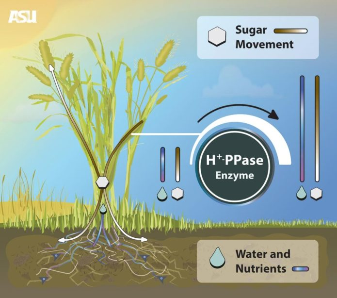 Researchers with ASU School of Life Sciences discovered a way to enhance a plant's tolerance to stress, which in turn improves how it uses water and nutrients from the soil. These improvements increase plant biomass and yield. This discovery could be instrumental in agriculture and food security by improving crop sustainability and performance. By increasing the expression of the enzyme H+PPase, plants can more effectively move sugar, water and nutrients to the places they need them to grow better roots, fruits, seeds and young leaves. CREDIT David Kiersh